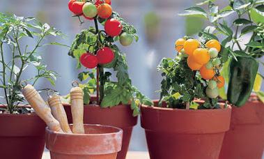 Metode Menanam Tomat Di Pot Supaya Berbuah Banyak