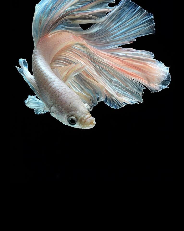Image Betta Fish for Sale near Me