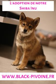 Adoption-Shiba-Inu