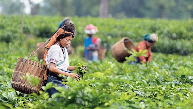 Tea garden workers in North Bengal