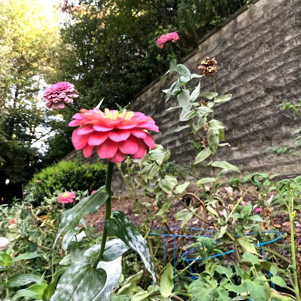 pink zinnias in garden