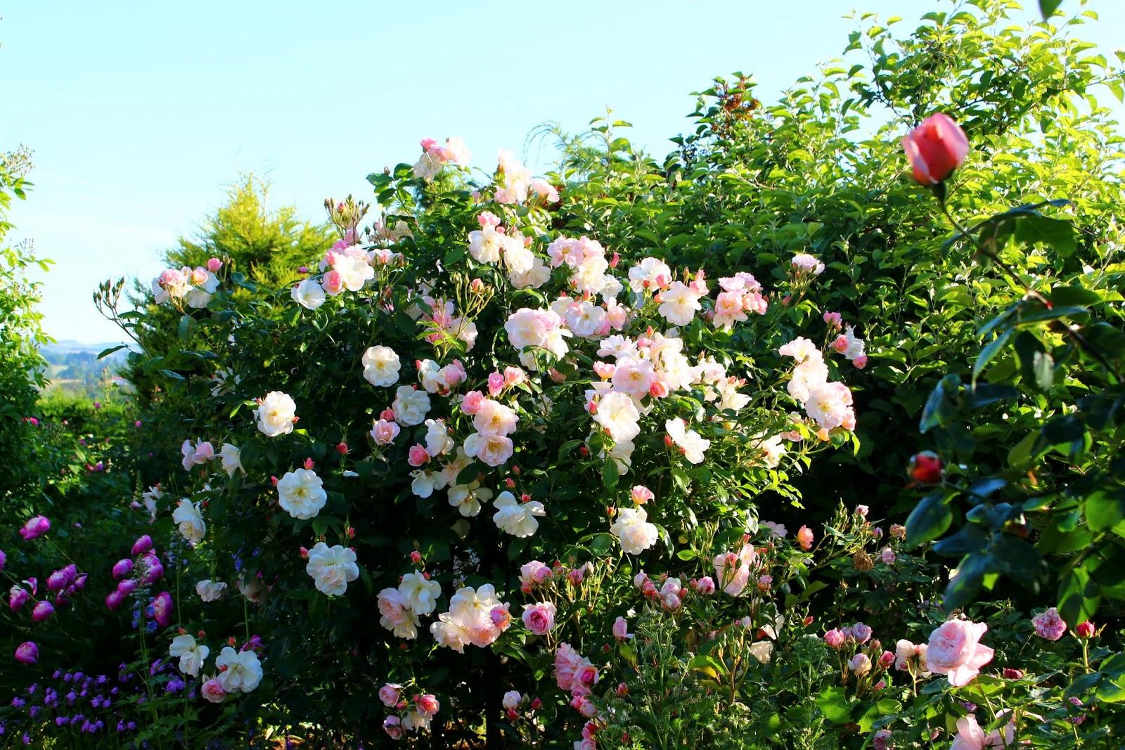roses du jardin ch neland rosier sourire d 39 orchid e. Black Bedroom Furniture Sets. Home Design Ideas