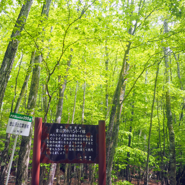 金山沢のハシドイ林