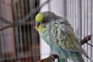 виртуальное путешествие, настроение своими руками, Яна SunRay, птички, волнистики, волнистый попугай
