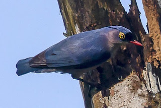mengenal burung rambatan dengan tembakan rapatnya