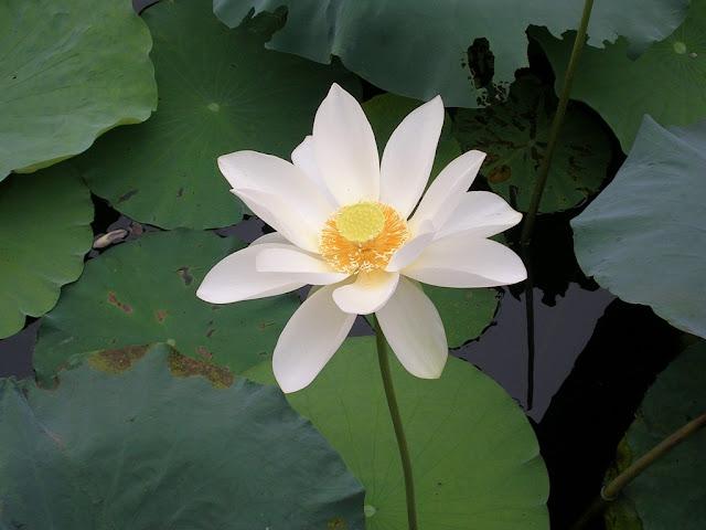 蓮池に咲く花2