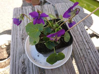 プラスチック製の鉢 植え付け