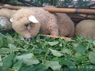 Ternak Domba Cepat Gemuk