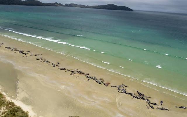 Περιβαλλοντική τραγωδία: 145 φάλαινες νεκρές στη Νέα Ζηλανδία