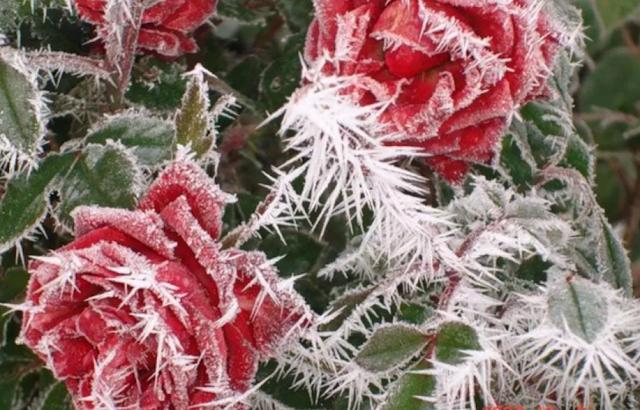 Цветы и мороз