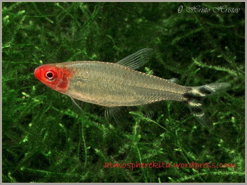 Ikan Aquascape yang Kuat nose tetra