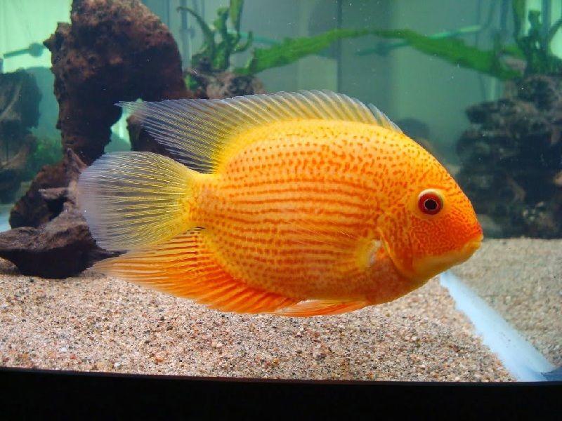 ikan severum albino