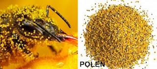 polenin yararları