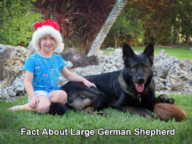 Fact About Large German Shepherd