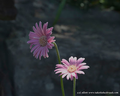 A macro photograph of a pair of pink daisies and a blurb about owls and fireflies.
