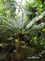 Cycas siamensis, a jungle plant - Kyoto Botanical Gardens Conservatory, Japan