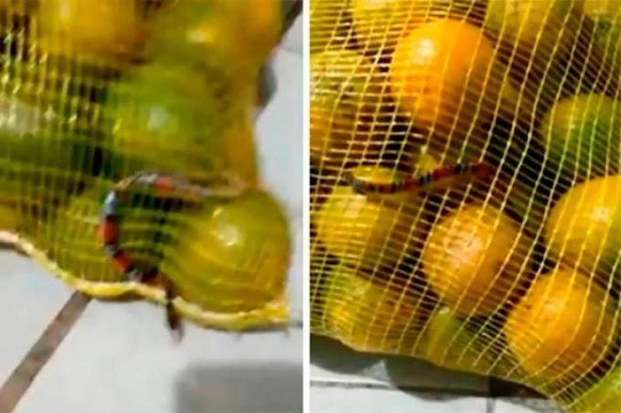 Mulher encontra cobra coral em saco de laranjas,