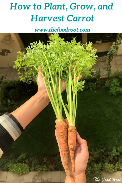 Step by step guide on how to grow, plant and harvest Carrot from seeds in a pot or container.