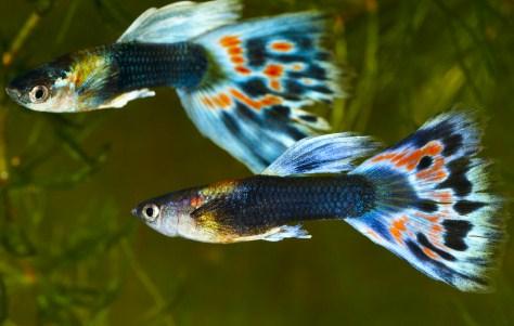 gambar ikan guppy - Gambar Ikan Hias Cantik