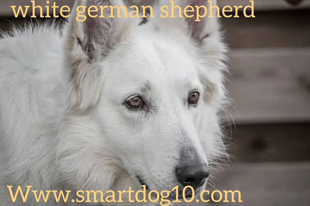white german shepherd long hair