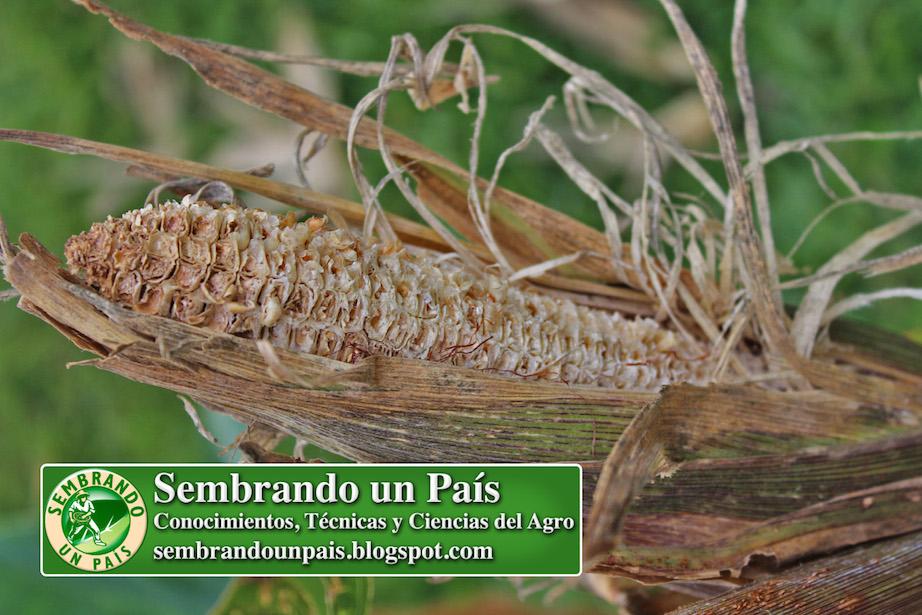 mazorca de maíz dañada por gusano cogollero