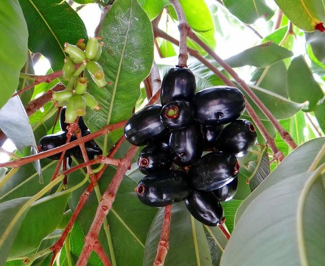jamun benefits in hindi , jamun leaves powder , jamun seeds powder , work from home