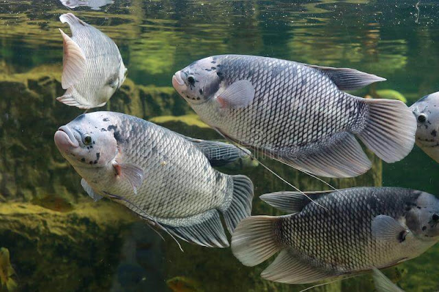 Info Harga Supplier Jual Ikan Gurame Bibit & Konsumsi Pontianak, Kalimantan Barat