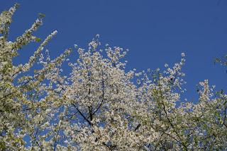 Ein Baum mit weißen Blüten vor einem wolkenfreien, blauen Himmel