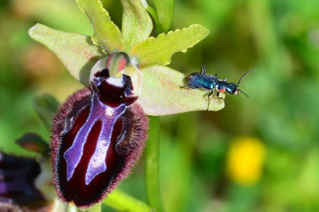 Clanoptilus sardous