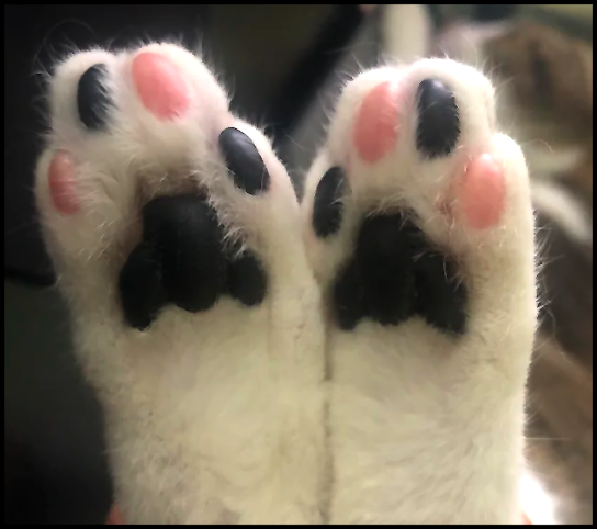 Cute cat with amazing pink and black jelly bean toes