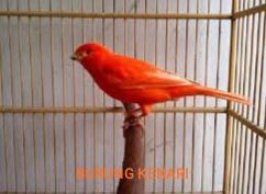 Suara Kicauan Burung Kenari Masteran mp3