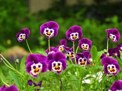 Bunga pansi