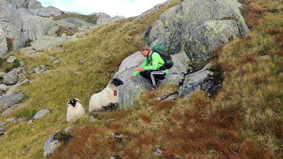 owce w parku narodowym Folgefonna