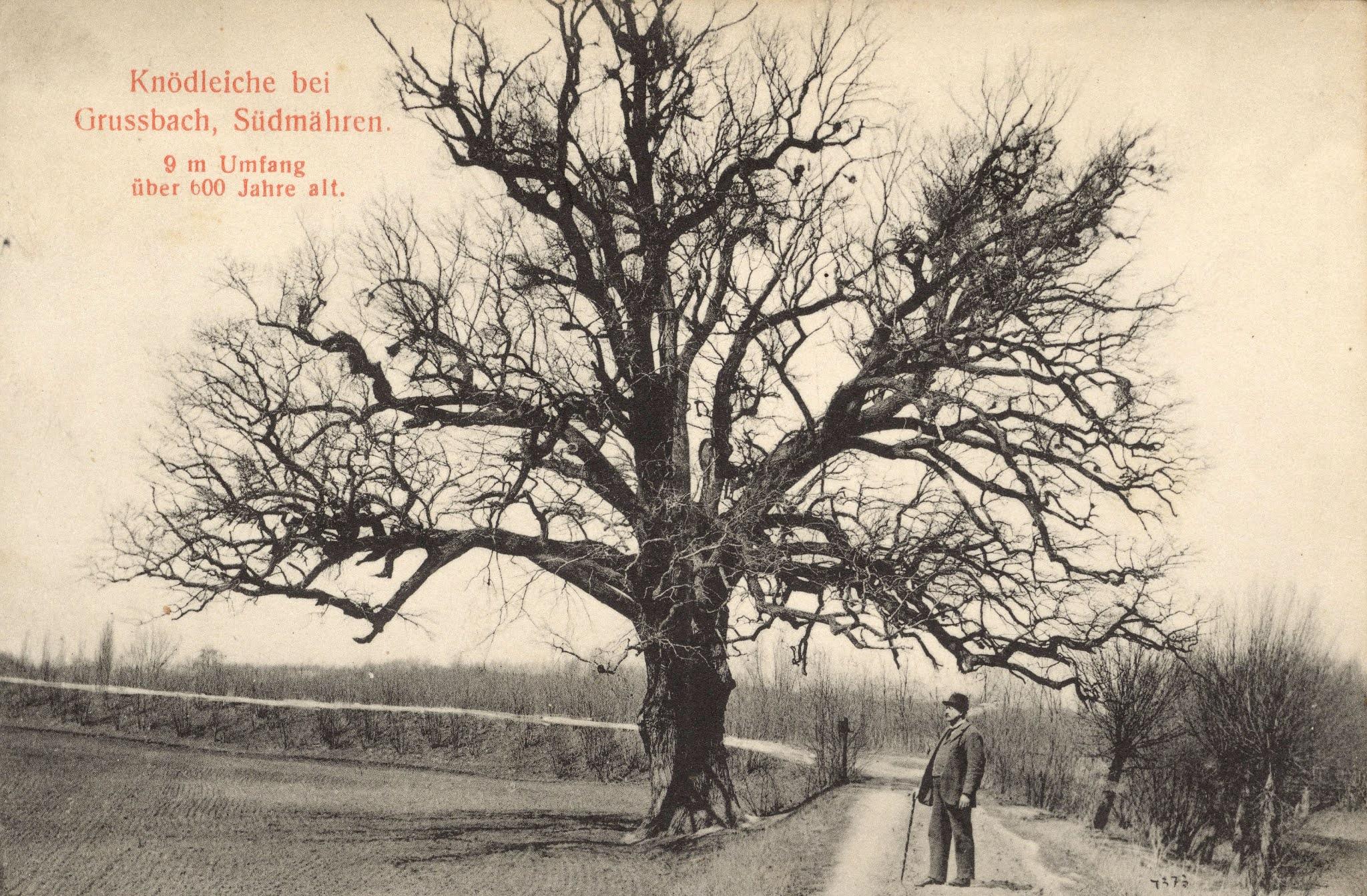 Knedlíkový dub