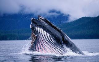 Splash !! baleine et drone