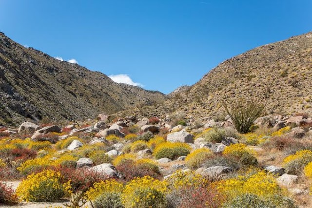 Anza-Borrego Desert in bloom season