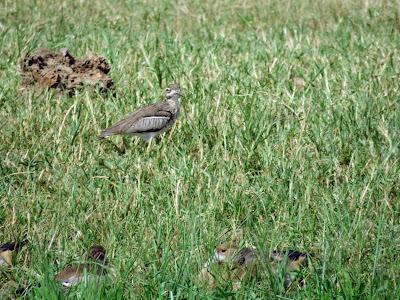 Uganda Birds: Eurasian Stone-curlew
