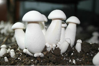 mushroom farming in india