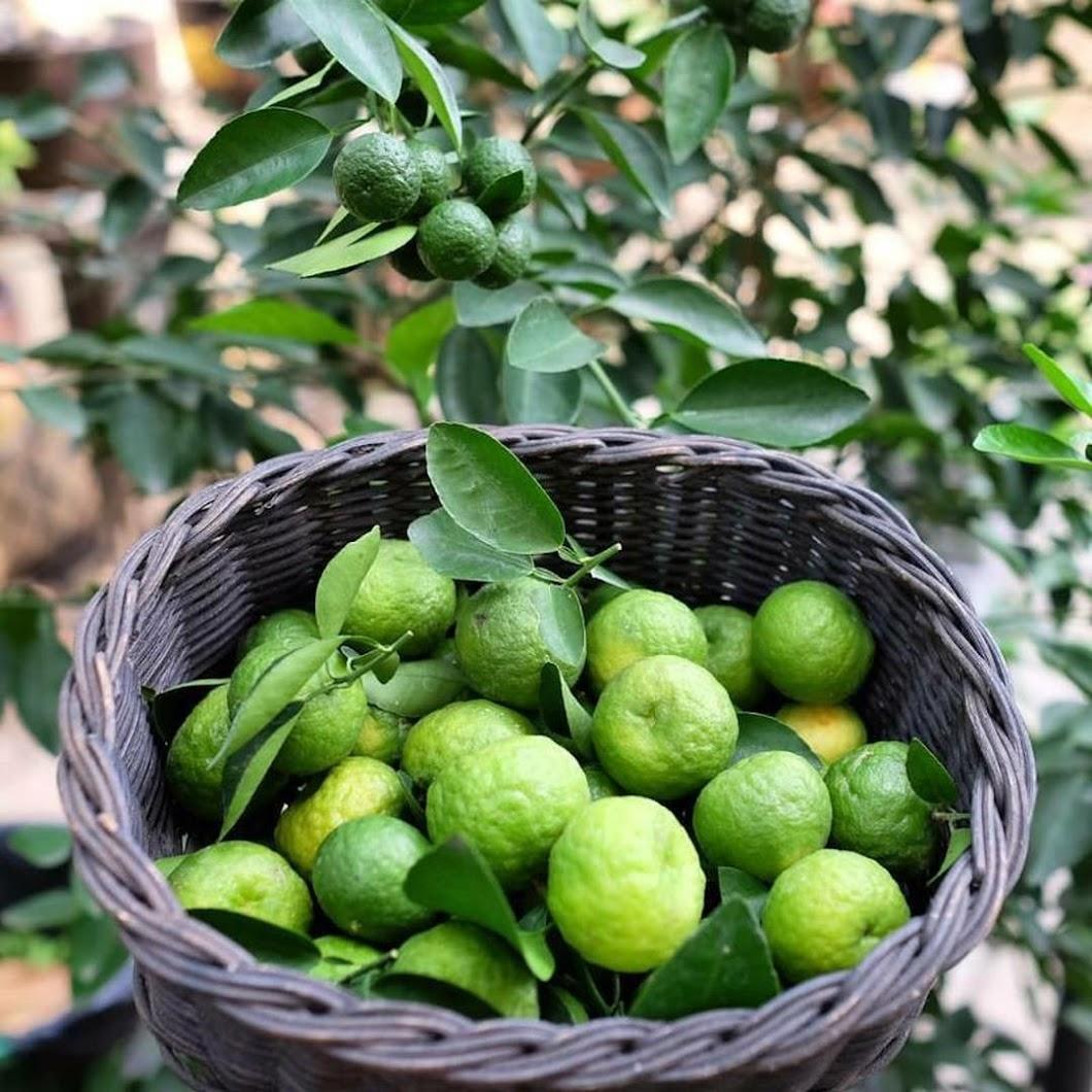 bibit tanaman jeruk limau jeruk sambal okulasi cepat berbuah Jakarta