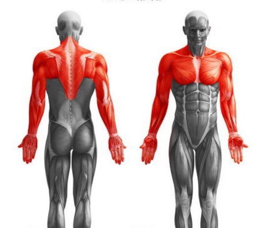 otot punggung, otot dada, otot bahu, bicep, tricep, otot perut