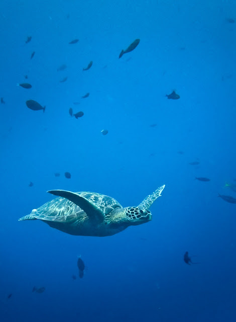 diving with turtles at Bunaken, North Sulawesi, Indonesia