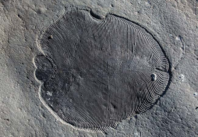 Penelitian Ancient Steroids Establish the Ediacaran Fossil Dickinsonia as One of the Earliest Animals