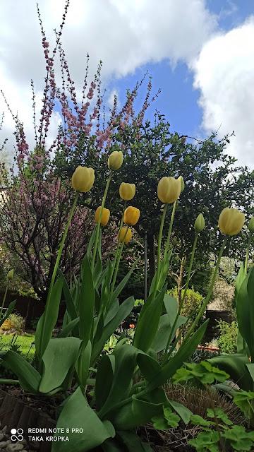 Tulipany - uprawa