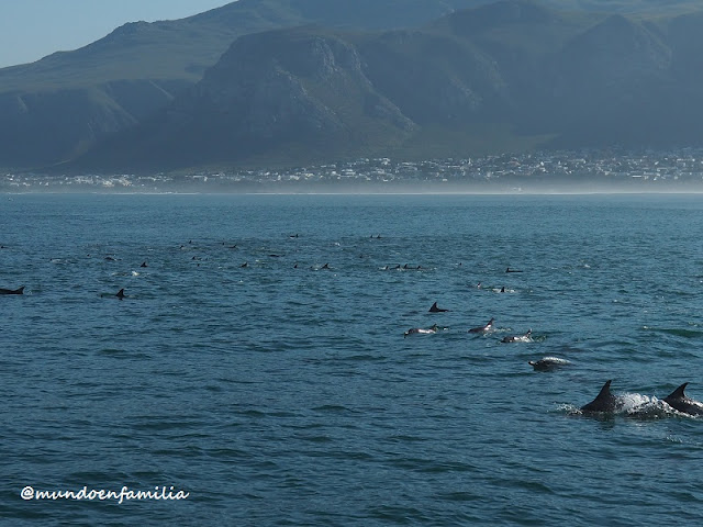 Delfines rodeando nuestro barco en Hermanus