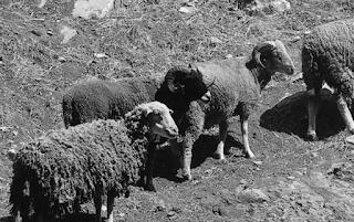 moutons-sur-l'île-de-Santa-Cruz