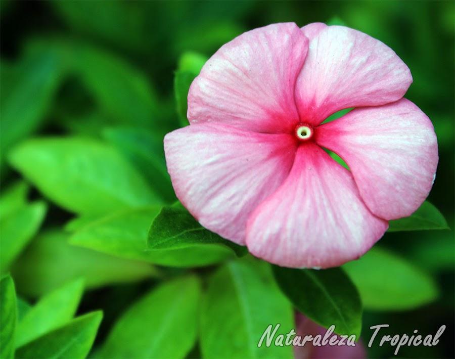Foto de la flor Vicaria, Vinca rosea o Catharanthus roseus
