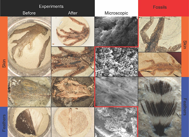 Creating 'synthetic' fossils in the lab sheds light on fossilization processes