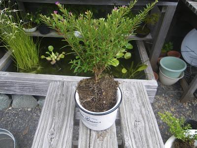 白い鉢 小さな鉢植え