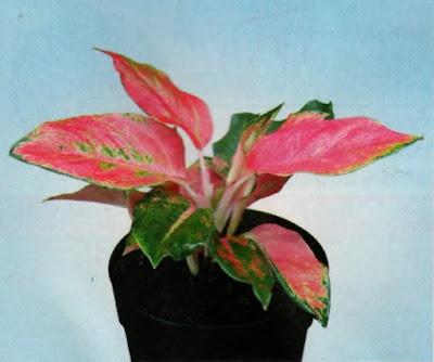 Aglaonema Hybrid Pink