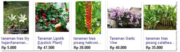 harga tanaman hias bawang bawangan
